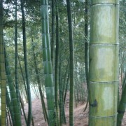 bamboo_plant