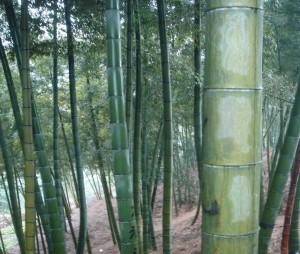 growing bamboo